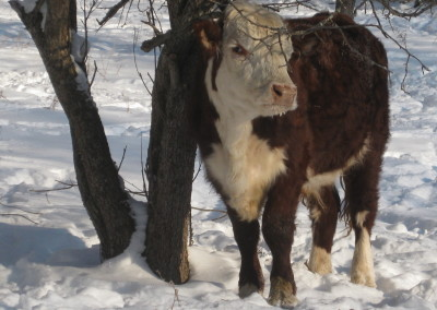 winter Hereford