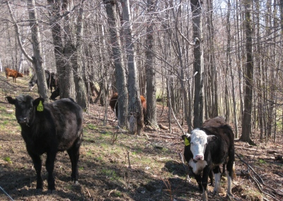 cows in woods