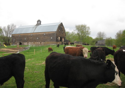 Cows on early pasture