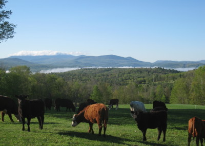 Cows with mountain view