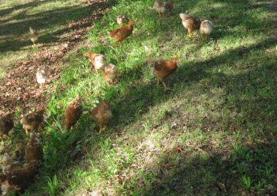 Chickens in grass