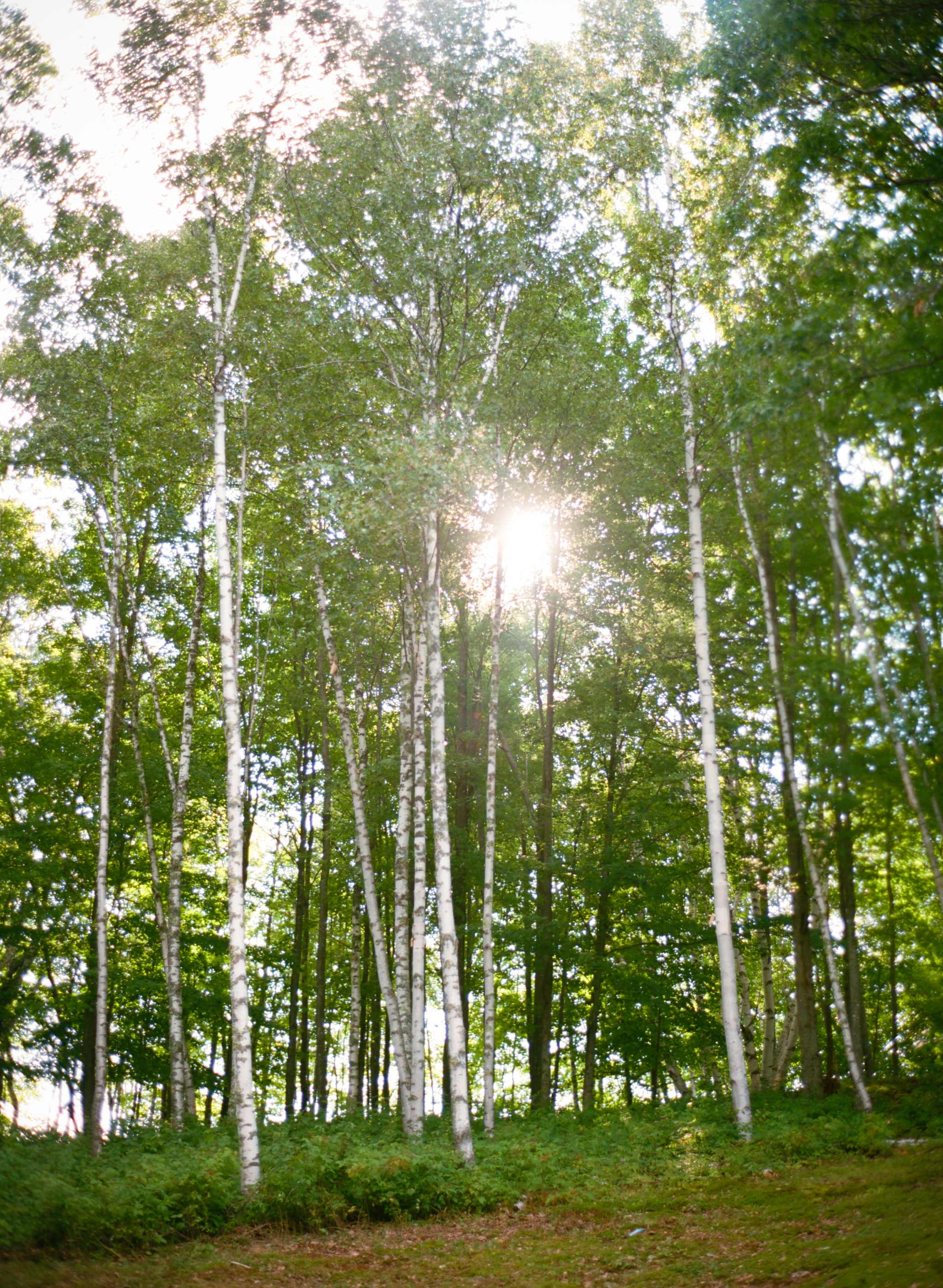 birches in the sun